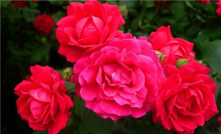 蔷薇花有什么好处