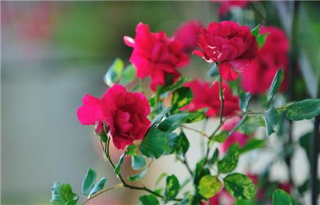 家中蔷薇一年四季美不同
