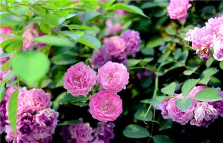 家中蔷薇过冬