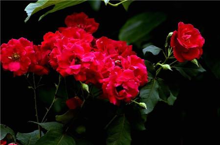 红蔷薇:热恋