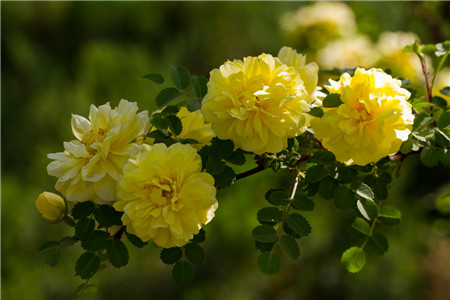 黄蔷薇:永恒的微笑