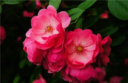 野蔷薇:浪漫的爱情,悔过