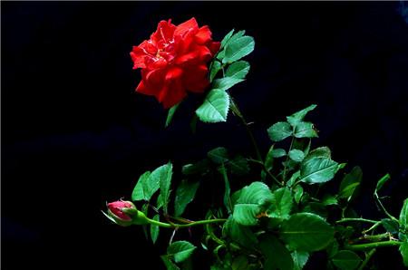 蔷薇花的开花条件