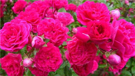 蔷薇花放在家中催财