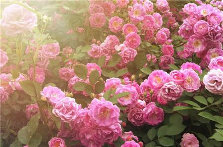 蔷薇花放在阳台生气