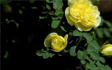 蔷薇花种在院子