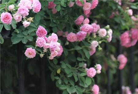 蔷薇花浇水影响因素