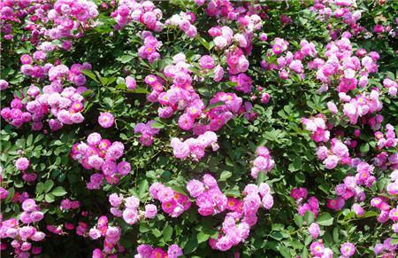 蔷薇花浇水季节差异