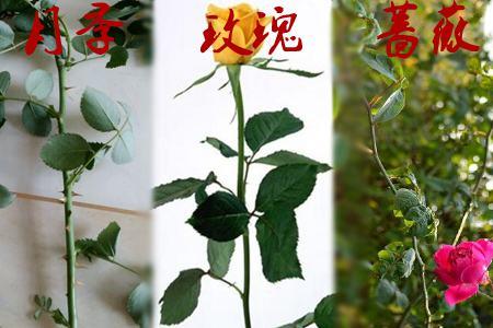 玫瑰月季蔷薇花的区别:枝条不同