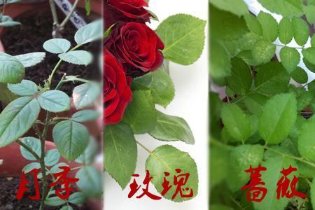 玫瑰月季蔷薇花的区别:叶片不同