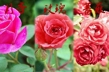 玫瑰月季蔷薇花的区别:花朵不同