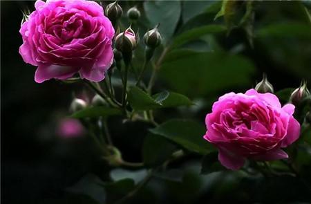 蔷薇花虫害:金龟子