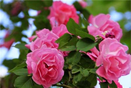 蔷薇花虫害:刺蛾