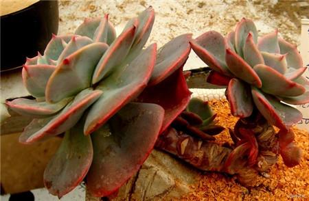 红粉台阁的繁殖方式