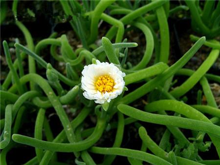 碧光环花朵形态