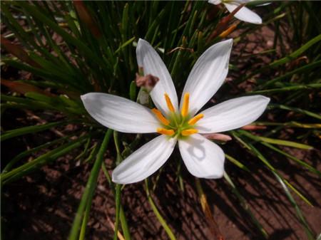 葱兰播种前催芽