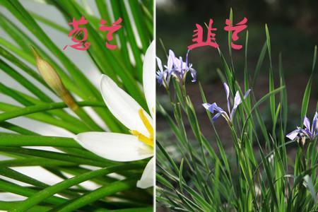 葱兰与韭兰的区别:看叶片