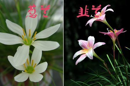 葱兰与韭兰的区别:看花朵