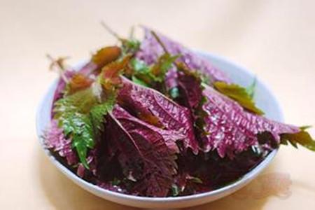 紫苏种植养护