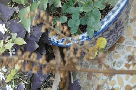 紫苏如何结种