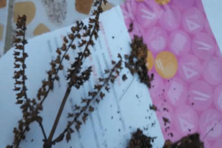 紫苏结种后