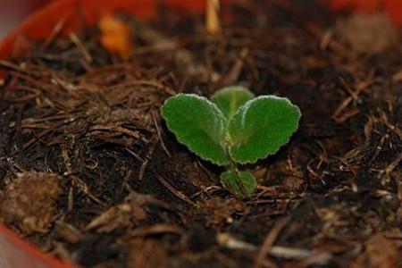 大岩桐的芽插