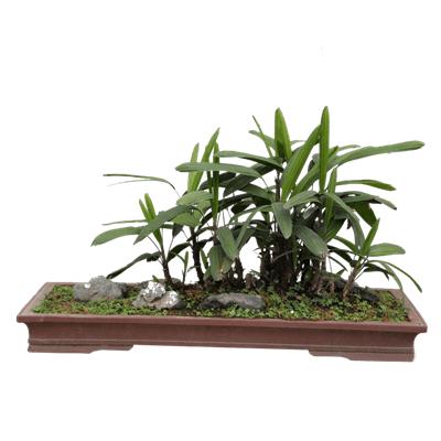 棕竹盆景的上盆过程