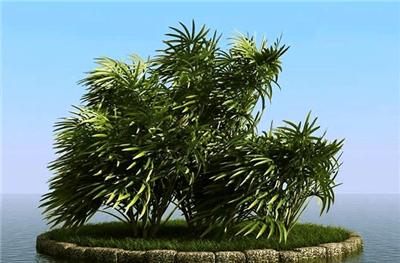 棕竹丛林式盆景