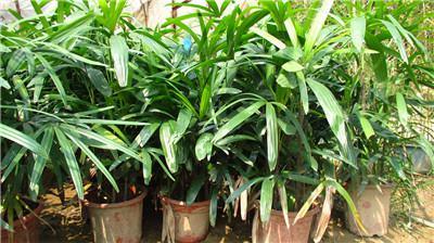 棕竹叶子发黄原因二 土壤呈碱性