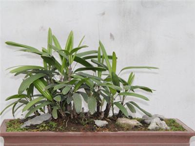 棕竹叶子发黄原因三 浇水不当