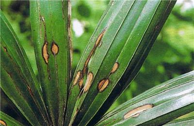 棕竹病害之炭疽病