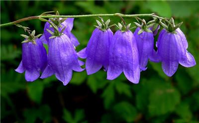 风铃草什么时候开花