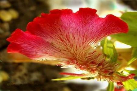 鸡冠花的养殖