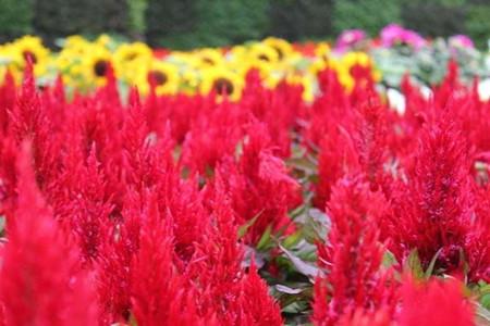 矛状花型的鸡冠花