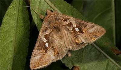 美国薄荷虫害:夜蛾