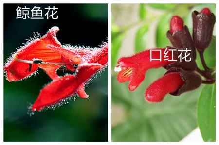 鲸鱼花和口红花的区别之花朵