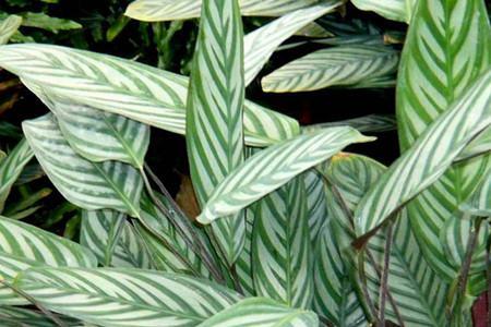 双线竹芋养殖的注意事项