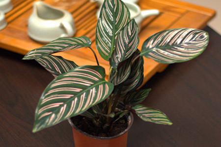双线竹芋的繁殖:分株法