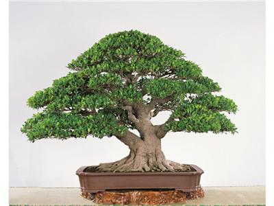 榕树盆景多久修剪一次
