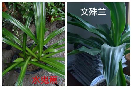 水鬼蕉和文殊兰的区别之叶子不同