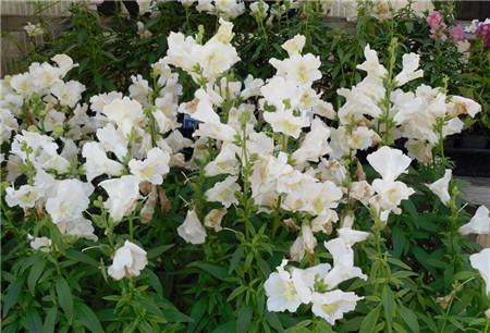 金鱼草的花语是什么