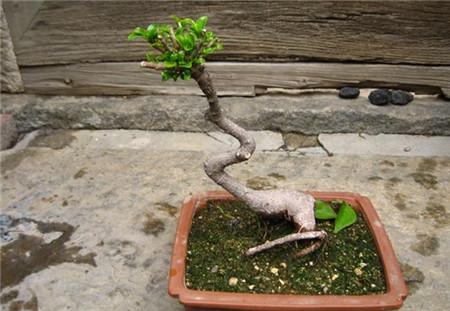 榕树嫁接后