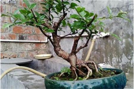 榕树盆景的四季养护技巧