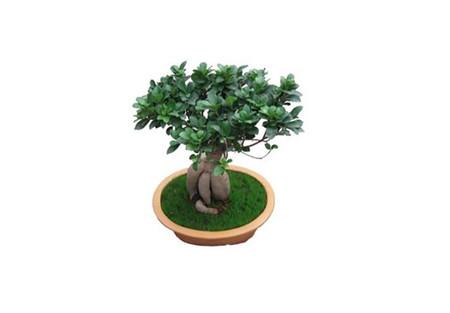 放在室内养护的榕树盆景