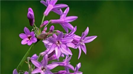 紫娇花常见病害及防治方法