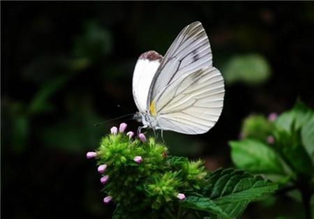白车轴草常见虫害及防治方法