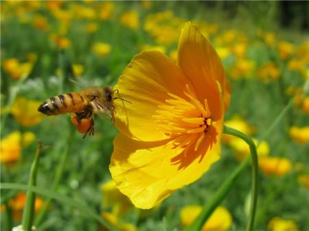 花菱草常见病虫害及防治方法