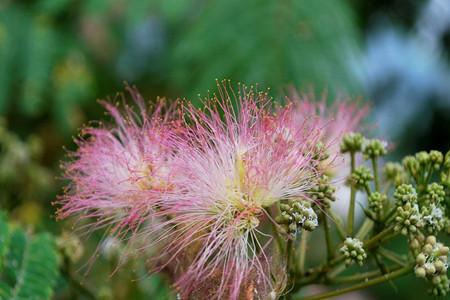 合欢花的养殖方法
