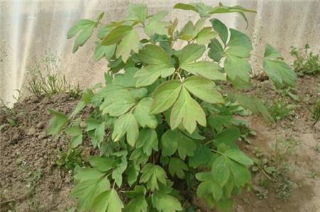 牡丹花叶子发黄原因:烂根