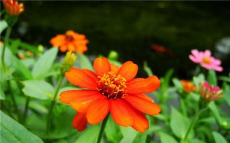 百日草常见盆栽品种:细叶百日草